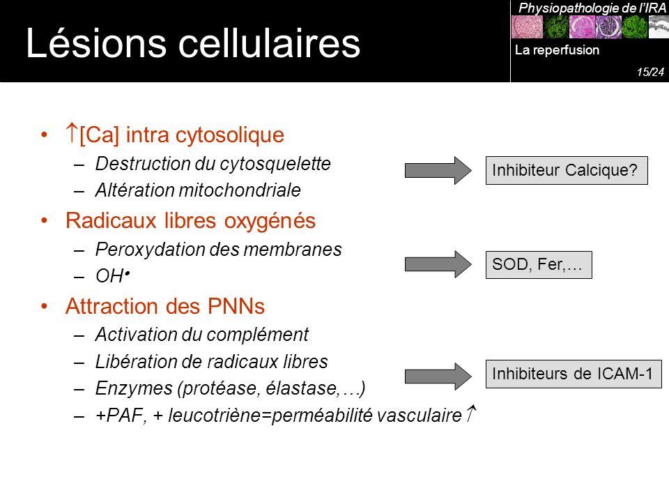 Lésions cellulaires [Ca] intra cytosolique Radicaux libres oxygénés